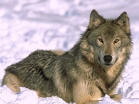 Alaszkai farkas