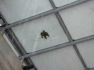 A galamb télen, hóval fedve, de alulról jól láthatóan
