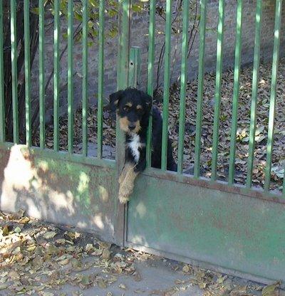 Magányos kutyus, kihajolva a kerítésen